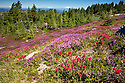 OR01678-00...OREGON - Brightly colored paintbrush and heather in a meadow along the McNeil Point Trail in the Mount Hood Wilderness area with Mount Adams, Mount Rainier and Mount St. Helens in the distance.