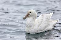 White nellie morph, Cooper Island, South Georgia Island.