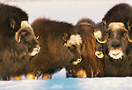 Muskox, Arctic National WIldlife Refuge, Alaska