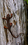 A salamander suns himself on a downed log in the Fanno Meadows conservation easement of Willamette Industries Black Rock extraction area. This environmentally sensitive area donated to this Nature Conservancy is home to many creatures in an area which will not be harvested.
