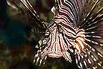 Red lionfish in the Caribbean