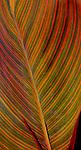 A colorfully variegated leaf at Washington, DC's Aquatic Gardens.