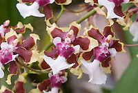 Yellow, red and white flowers of Oncidium Sharry Baby 'Tricolor', fragrant orchids