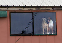 A tender moment between two dogs locked in the Olympic Animal Sanctuary in Forks, WA on December 16, 2013.  Owner Steve Markwell Markwell has been under fire for neglecting the dogs after volunteers filed a complaint in 2012. The City of Forks police department investigated and found horrific conditions but said legally they were unable to do anything about it. Markwell claims he has 125 dogs inside and believes he is their last hope.  Many of the dogs were turned over to him by rescues and shelters who deemed them dangerous. Mounting evidence of animal cruelty has prompted many of them to ask for their dogs back.  Markwell refuses and only lets a few trusted volunteers enter the premises.