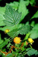 Salmonberry (Rubus spectabilis), Mt. St. Helens National Volcanic Monument, Washington, US
