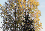 Aspen and Hemlock in an Autumn sunset on October 14, 2015,   ©2015. Jim Bryant Photo. ALL RIGHTS RESERVED.
