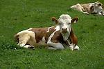 Calf lying down in meadow. Imst, Austria.