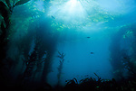 Santa Cruz Island, Channel Islands National Park & National Marine Sanctuary, California; sun rays falling on a forest of Giant Kelp (Macrocystis pyrifera)