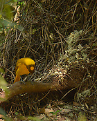 Golden Bower Bird,<br />