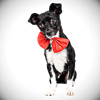 How cute is this black and white chihuahua with his red bow.