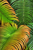 Close-up of ama'u ferns taken at Hawaii Volcanoes National Park, Big Island of Hawai'i.