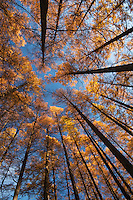Looking up into a stand of karamatsu (Japanese larch) on a bright autumn morning, Matsumoto, Nagano, Japan.<br /> <br /> (title translation Stephen Addiss)