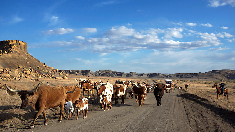 Long horn cattle drive in Staircase Escalante National Monument.  © Carli Davidson
