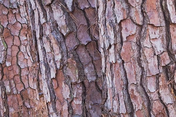 Shortleaf Pine Leaf Shortleaf Pine Pinus