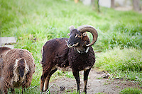 Soay sheep (Ovis aries) at Singing Frogs Farm