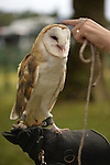 Old Westbury, New York, U.S. - August 23, 2014 - COSMO the Barn Owl (Tyto alba), who looks like he enjoys being petted by CATHY HORVATH, is from WINORR, Wildlife in Need of Rescue and Rehabilitation, at the 54th Annual Long Island Scottish Festival and Highland Games, co-hosted by L. I. Scottish Clan MacDuff, at Old Westbury Gardens. WINORR is run by Cathy and her husband Bobby, licensed animal rehabilitators in North Massapequa.