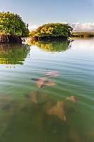 Golden rays swim in protected water of a mangrove forestSanta Cruz Island, Galapagos Islands, Ecuador.