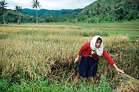 Philippines. Negros Island. Province of Negros Occidental, located in the  Western Visayas region. Barangay (village) Camao. A woman, wearing a red jacket and a white towel on her hair, harvests organic rice in the fields. Terrace cultivation. Rice growing. Sustainable agriculture.  © 1999 Didier Ruef