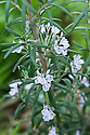 Rosemary in flower, allotment, end April.