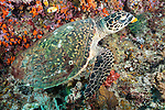 Misool, Raja Ampat, Indonesia; Boo area, a Hawksbill Sea Turtle feeding on orange sponges on the coral reef