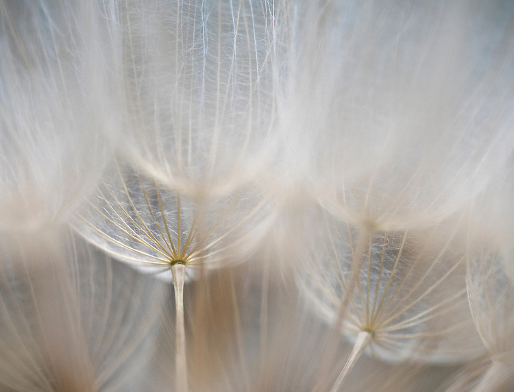 Close-up detail of a yellow salsify seed head
