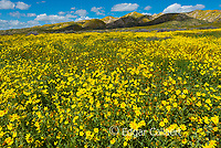 Fiddlenecks, Monolopia, Tremblor Range, Carizzo Plain National Monument, San Luis Obispo County, California