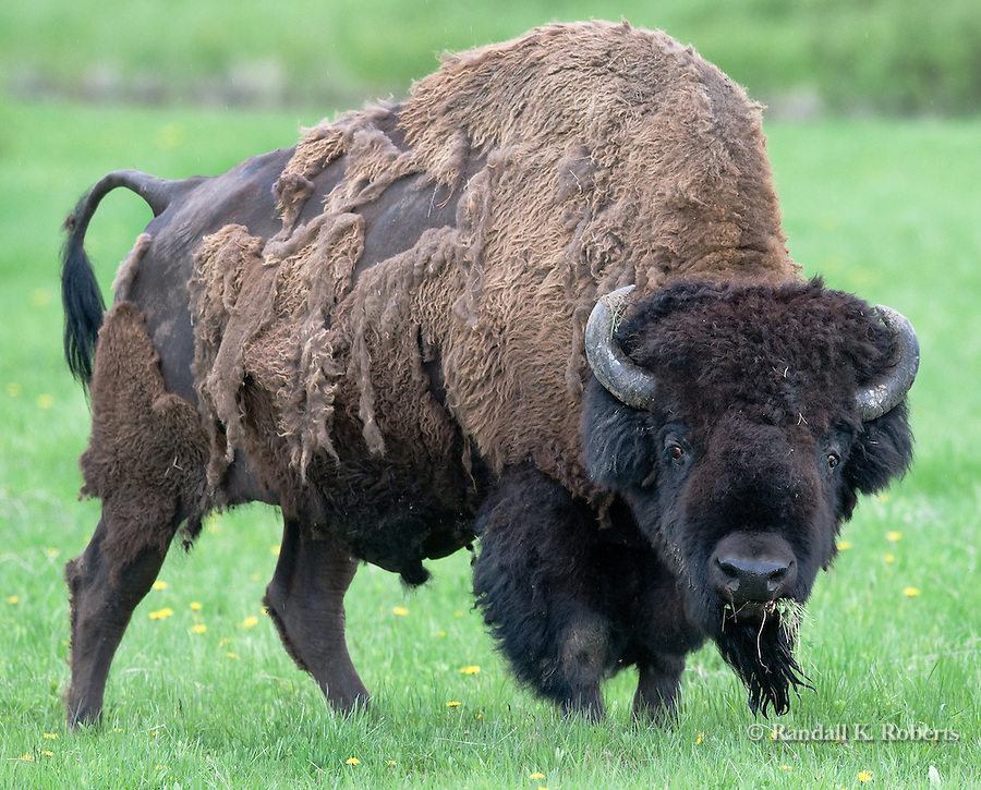 A bison bull looks up from his grassy feast in a field near Flagg Ranch near Grand Teton National Park, Wyoming.