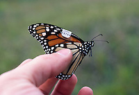 A Monarch butterfly (Danaus plexippus), banded for research in migration, in hand (Ohio)