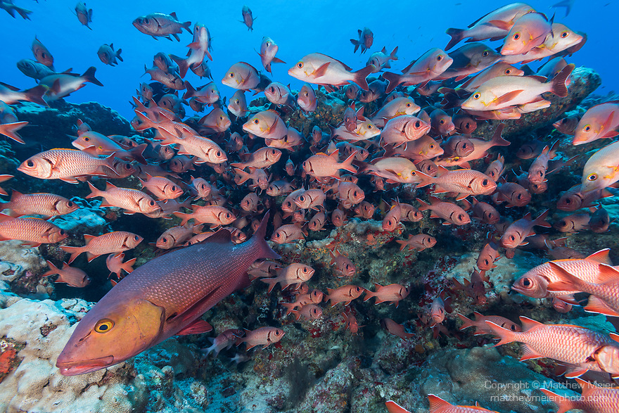 Toau Atoll, Tuamotu Archipelago, French Polynesia; an aggregation of big-scale soldierfish and humpback snapper, plus one large red snapper, hiding in a rocky cavern during the day