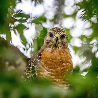 A hawk in a Holly Hill, Fl backyard in July 2015. (Photo by Brian Cleary/ www.bcpix.com )