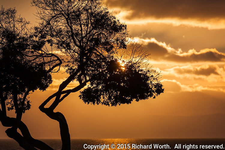 Against a background of golden clouds and water, a tree stands in silhouette, its leaves and branches filtering sunset rays along San Francisco Bay.