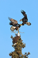 Two juvenile Bald Eagle (Haliaeetus leucocephalus) fighting over dominion in a tree top as a mature eagle looks on in Eagle River, Alaska. Southcentral. Spring. Afternoon.