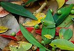 Glass frog (Centrolenidae), Rio Napo, Peru
