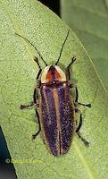 1C24-537z  Firefly Adult - Lightning Bug - Photuris spp