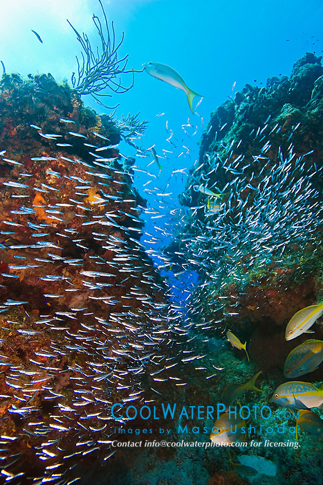Minnows - silversides, herrings or anchovies, sheltering under coral reef ledges or canyon, West End, Grand Bahama, Atlantic Ocean.