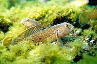 Round Goby, Underwater