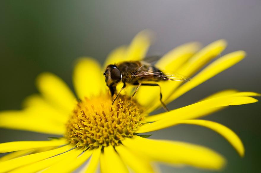 Horse-fly (Tabanidae sp.)<br /> Triglav National Park, Slovenia<br /> August 2009