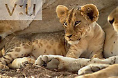 A Lion cub with adults. ,Panthera leo, Samburu National Game Reserve, Kenya