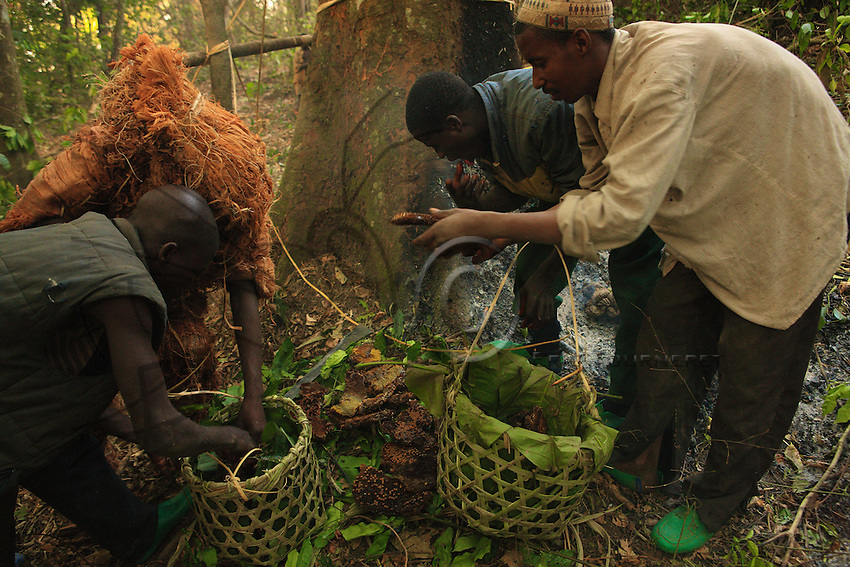 The brood cells are separated from the wax combs holding the stores of honey and carried in the baskets of woven raffia lined with banana leaves.