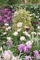 Variety of Dahlias in late summer garden