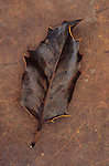 Dried brown leaf of Holly or Ilex aquifolium tree with sharp thorns lying on brown scuffed leather