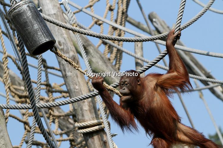 """Foto: VidiPhoto..APLDOORN - De orang oetans van de Apeldoornse Apenheul luiden donderdag de noodklok voor hun wilde soortgenoten in Zuidoost-Azië die met uitsterven worden bedreigd. De zogenoemde """"Ape Campaign"""" is een initiatief van EAZA (European Association of Zoos and Aquaria) om de slechte situatie van mensapen onder de aandacht te brengen en met alle Europese dierentuinen 1 miljoen euro in te zamelen. Vrijwel alle Europese dierentuinen doen hier aan mee en geven vrijdag het startsein voor de campagne."""