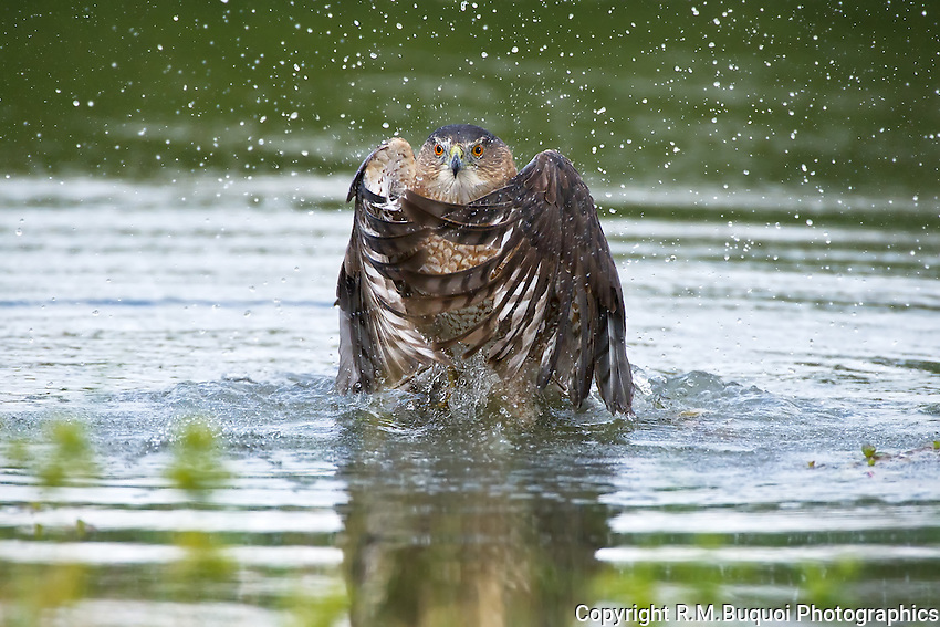 Cooper's Hawk leaving water after killing a coot