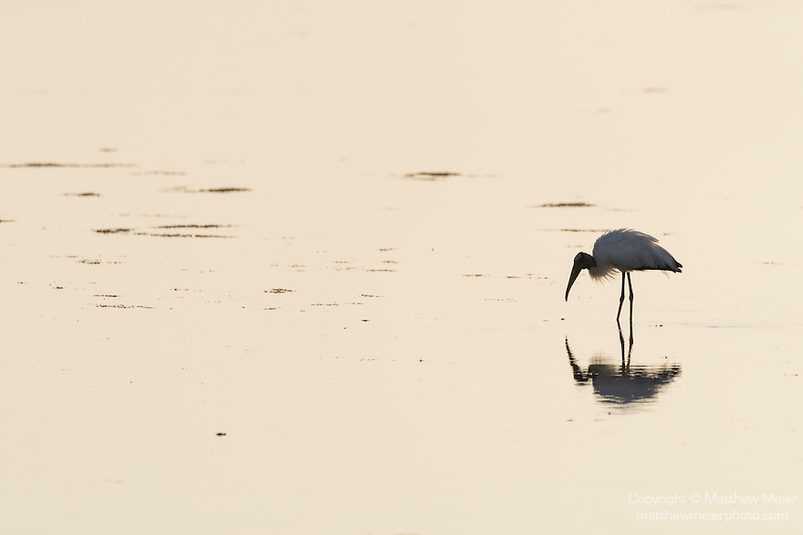 Ding Darling National Wildlife Refuge, Sanibel Island, Florida; a wood stork reflects in the shallow water while foraging for food, backlit by early morning sunlight