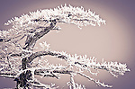 Rime ice on pine tree, San Bernardino National Forest, California USA