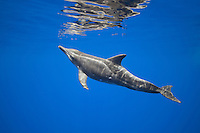 Rough-toothed dolphin (Steno bredanensis), approaching surface to breathe, Kona Coast, Big Island, Hawai'i