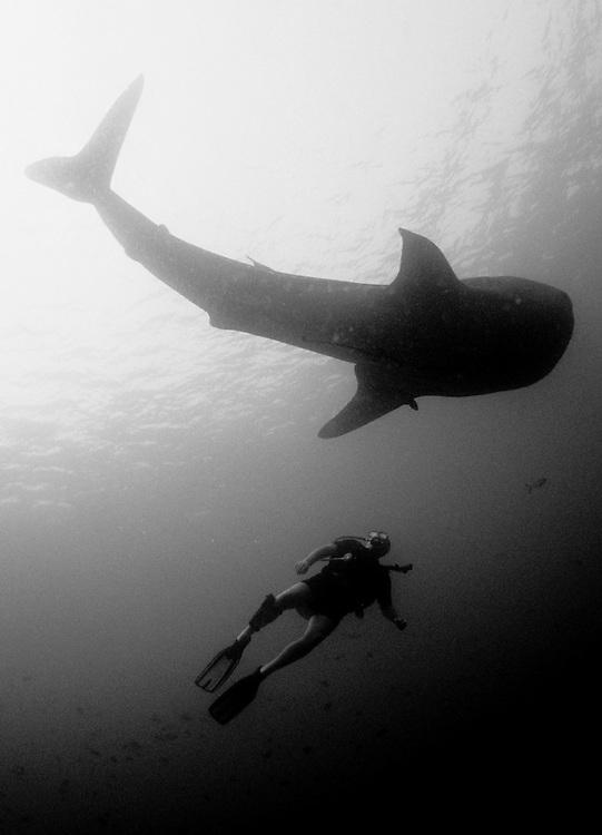 Black and white Whaleshark (Rhincodon typus) and diver, Maamigili outside, South Ari Atoll