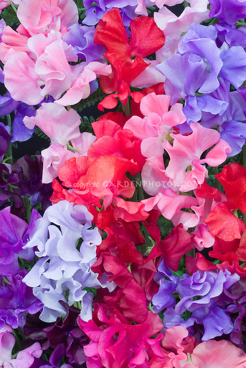 Lathyrus odoratus (Sweet pea) 'Spencer Mixed' in bouquet floral arrangement sweetpea flowers in vivid bright colors of red, purple, blue, pink, lavender