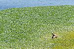 Point Reyes National Seashore, California; a Columbian black-tailed deer (Odocoileus hemionus columbianus) feeding on the water plants growing at the edge of Abbotts Lagoon