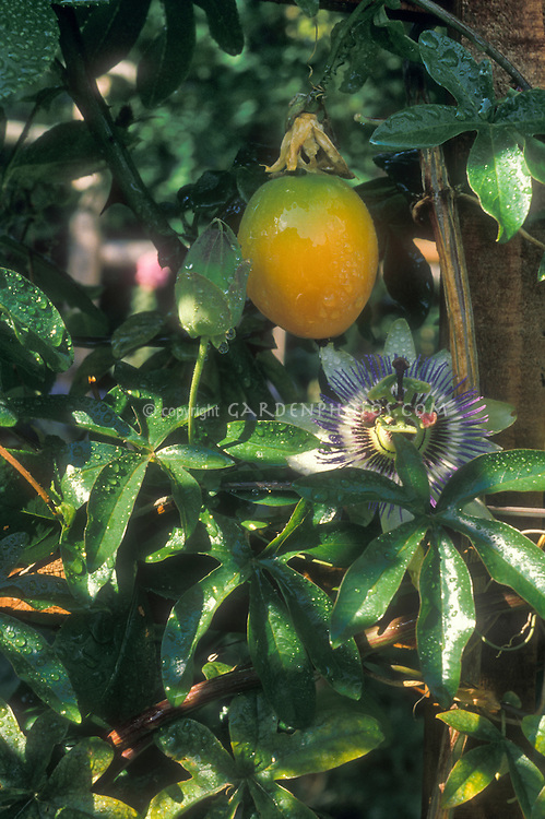 Passiflora caerulea Passionflower with flower, foliage, and orange ripe fruit